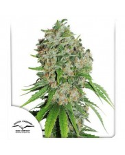 Outlaw Amnesia® - Dutch Passion - feminizovaná semena