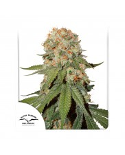 Orange Bud ® - Dutch Passion -  feminizovaná semena