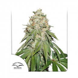 Banana Blaze® - Dutch Passion - feminizovaná semena
