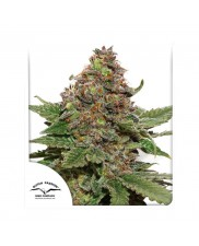 Strawberry Cough ® - Dutch Passion -  feminizovaná semena