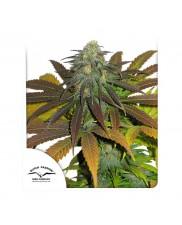 California  Orange ® - Dutch Passion -  feminizovaná semena