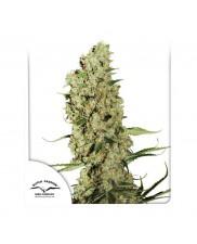 Jorge's Diamonds 1 ® - Dutch Passion - feminizovaná semena