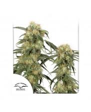 Pamir Gold ® - Dutch Passion -  femizovaná semena