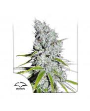 CBD Skunk Haze ®  - Dutch Passion -  feminizovaná semena