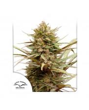 CBD Compassion ® - Dutch Passion -  feminizovaná semena