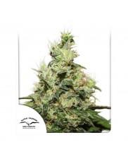 CBD Kush ® - Dutch Passion -  feminizovaná semena