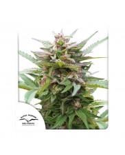Forest Dream ® - Dutch Passion -  feminizovaná semena