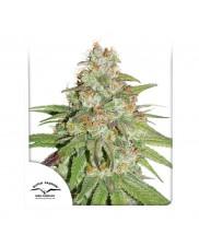 Glueberry O.G.® - Dutch Passion - feminizovaná semena
