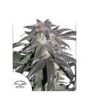 Bubba Island Kush ® - Dutch Passion - feminizovaná semena