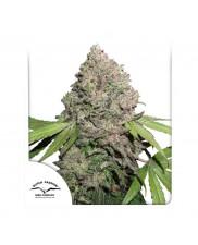 CBD Charlotte's Angel ® - Dutch Passion - léčebná feminizovaná semena