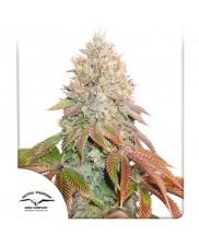 Auto Banana Blaze® - Dutch Passion - autoflowering