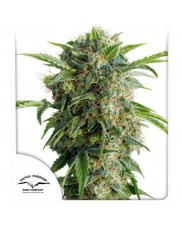 Auto Daiquiri Lime® - Dutch Passion - autoflowering