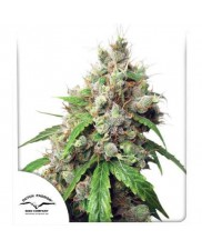 Auto Euforia - Dutch Passion - autoflowering seeds