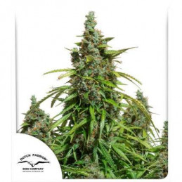 Auto Mazar  ® - Dutch Passion - autoflowering