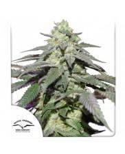 Auto Skywalker Haze® - Dutch Passion - autoflowering - BRZY V PRODEJI