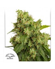 Auto Xtreme® - Dutch Passion - autoflowering