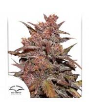 CBD Auto Blackberry Kush® - Dutch Passion - autoflowering