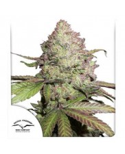 CBD Auto Compassion Lime® - Dutch Passion - autoflowering