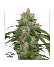 CBD Auto White Widow® - Dutch Passion - autoflowering
