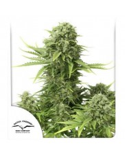 StarRyder  ® - Dutch Passion - autoflowering