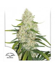 Think Big® - Dutch Passion - autoflowering