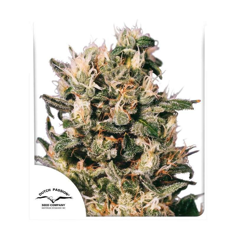 Euforia ® - Dutch Passion - regulovaná semena - 10 ks
