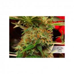 Mazar ®  - Dutch Passion - regulovaná semínka - 10 ks