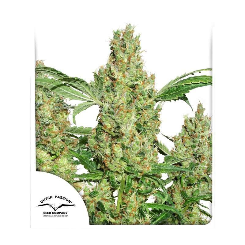 Power Plant ®  - Dutch Passion - regular semena - 10 ks
