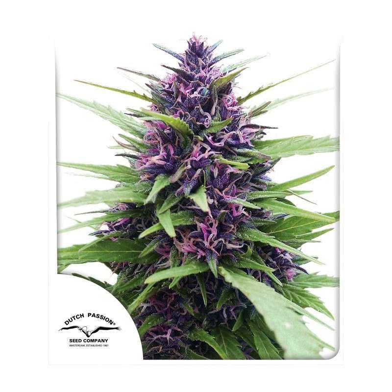 Shaman ®  - Dutch Passion - regular semena -  10 ks