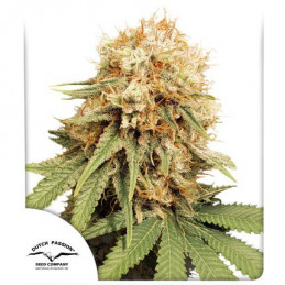 White Widow ®  - Dutch Passion - regular semena -  10 ks