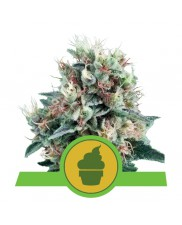 Royal Creamatic - Royal Queen Seeds - autoflowering