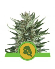 Royal Cheese Automatic - Royal Queen Seeds - autoflowering