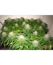 Euphoria - Royal Qween Seeds - Medical