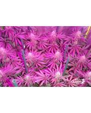 Medical Mass - Royal Queen Seeds - Medical Feminizovaná semena