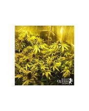 Painkiller XL- Royal Qween Seeds - Medical Feminizovaná semena