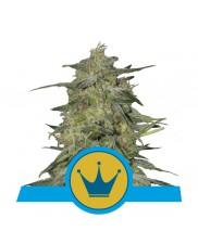 Royal Highness - Royal Queen Seeds - Medical Feminizovaná semena
