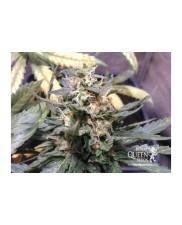 Royal Medic - Royal Qween Seeds - Medical Feminizovaná semena