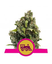 Candy Kush Express - (Fast Flowering) - Royal Queen Seeds - feminizovaná semena
