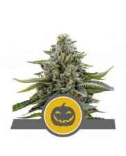 Pumpkin Kush Regular - Royal Queen Seeds - Regular semena