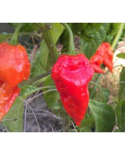 Ecuadorian Devil's Breath - Chilli semena - 10 ks