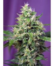 Sweet Amnesia Haze XL Auto® - Sweet Seeds - autoflowering - ( AKCE 3+1ks , 5+2ks )
