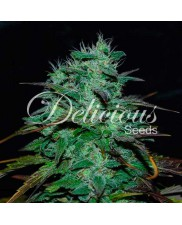 Chocobang ® - Delicious Seeds - feminizovaná semena sativa