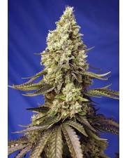 Runtz XL Auto® - Sweet Seeds - autoflowering - BRZY V PRODEJI