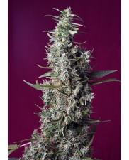Sweet Cherry Pie® - Sweet Seeds - autoflowering - ( AKCE 3+1ks , 5+2ks ) BRZY V PRODEJI