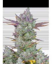 Gorilla Cookies Auto - Fast Buds Premium - autoflowering