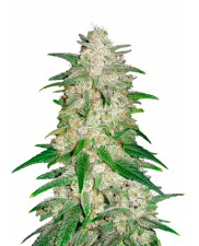 Gelato Auto - Fast Buds - autoflowering