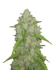 Amnesia Haze Auto - Fast Buds Original - autoflowering