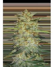 OG Kush Auto - Fast Buds Original - autoflowering