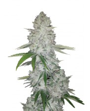 Gorilla Glue Auto - Fast Buds - autoflowering