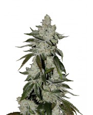 Girl Scout Cookies Auto - Fast Buds - autoflowering